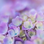 Violet Hydrangeas — Ltd Ed Print