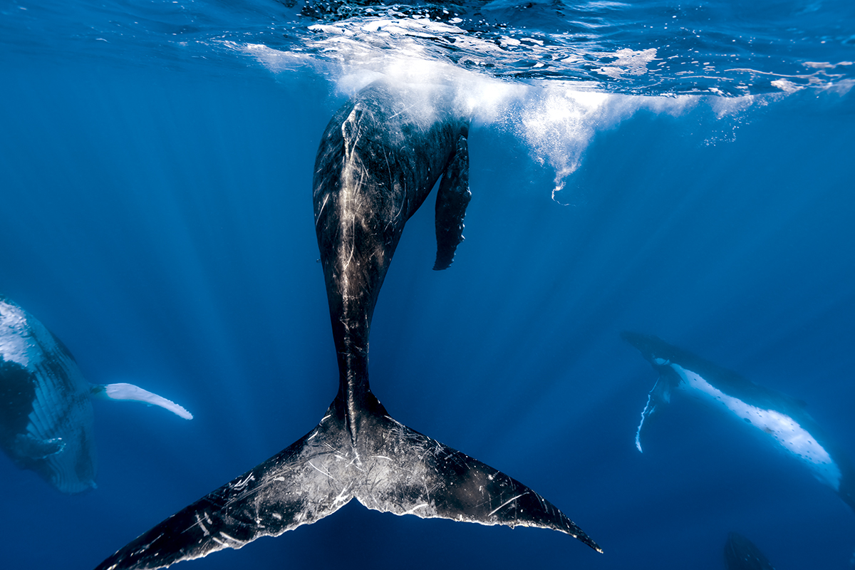 Heat Run A Group Of Male Humpback Whales Dance To Impress A Female In Tonga 299 © Stephen Cooper Photography Lr