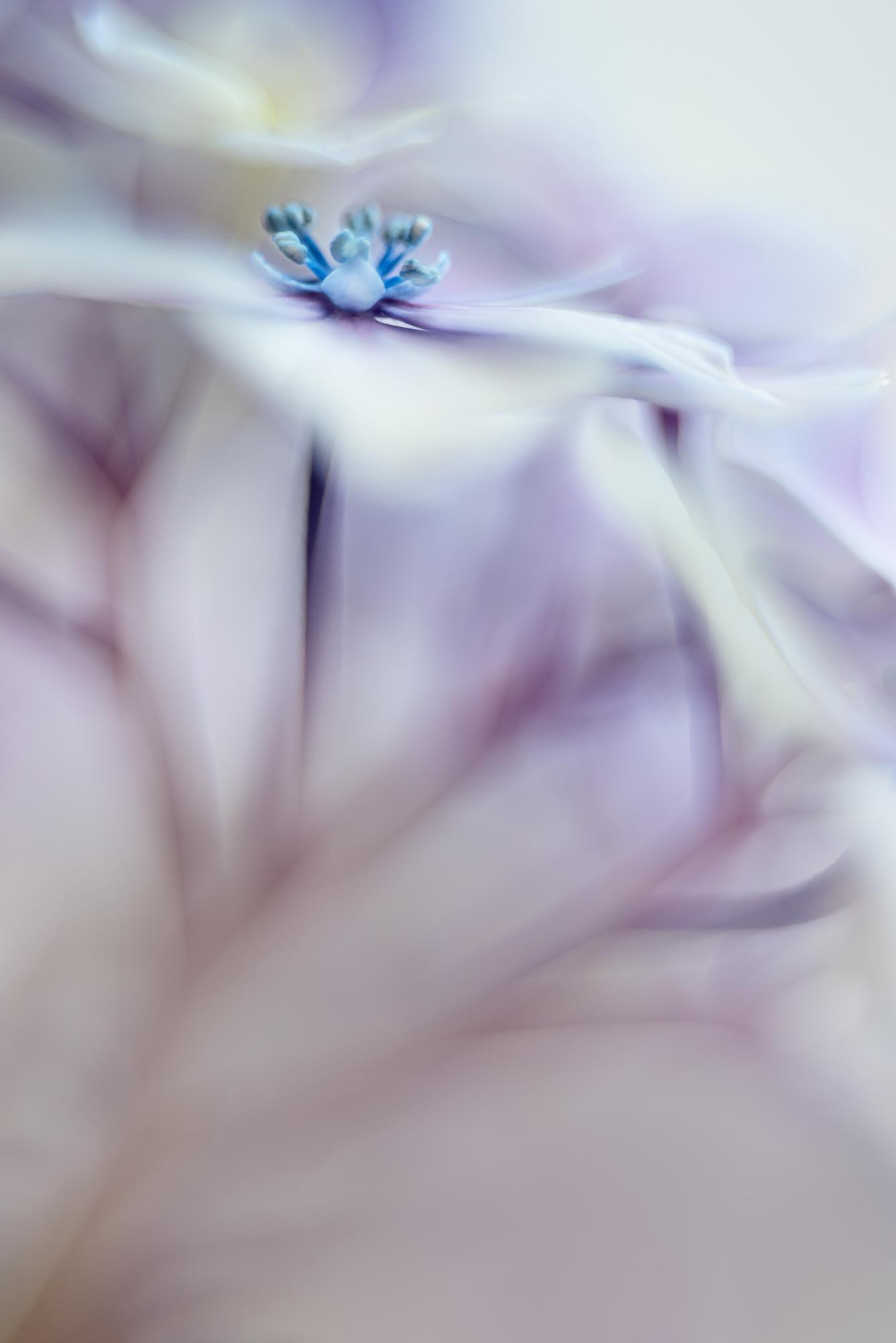 Hydrangea Florascape