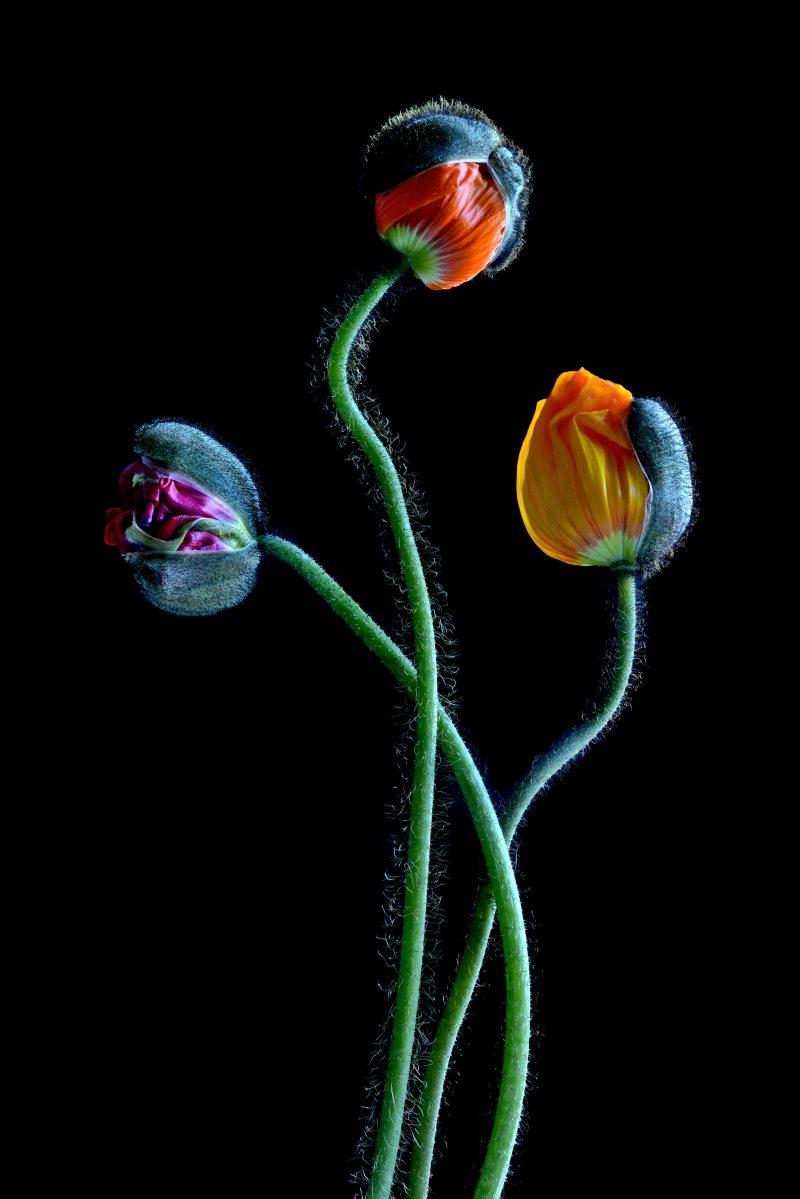 Poppies2436 800x1199
