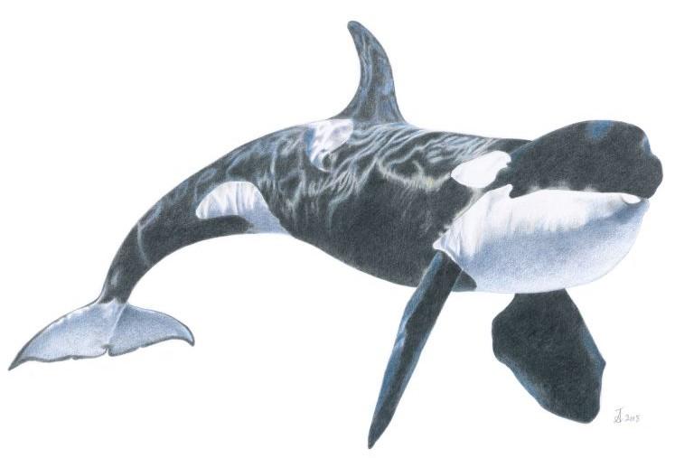 04 Orca 15204 800x566