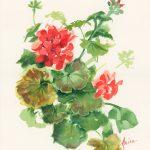 Geraniums – One