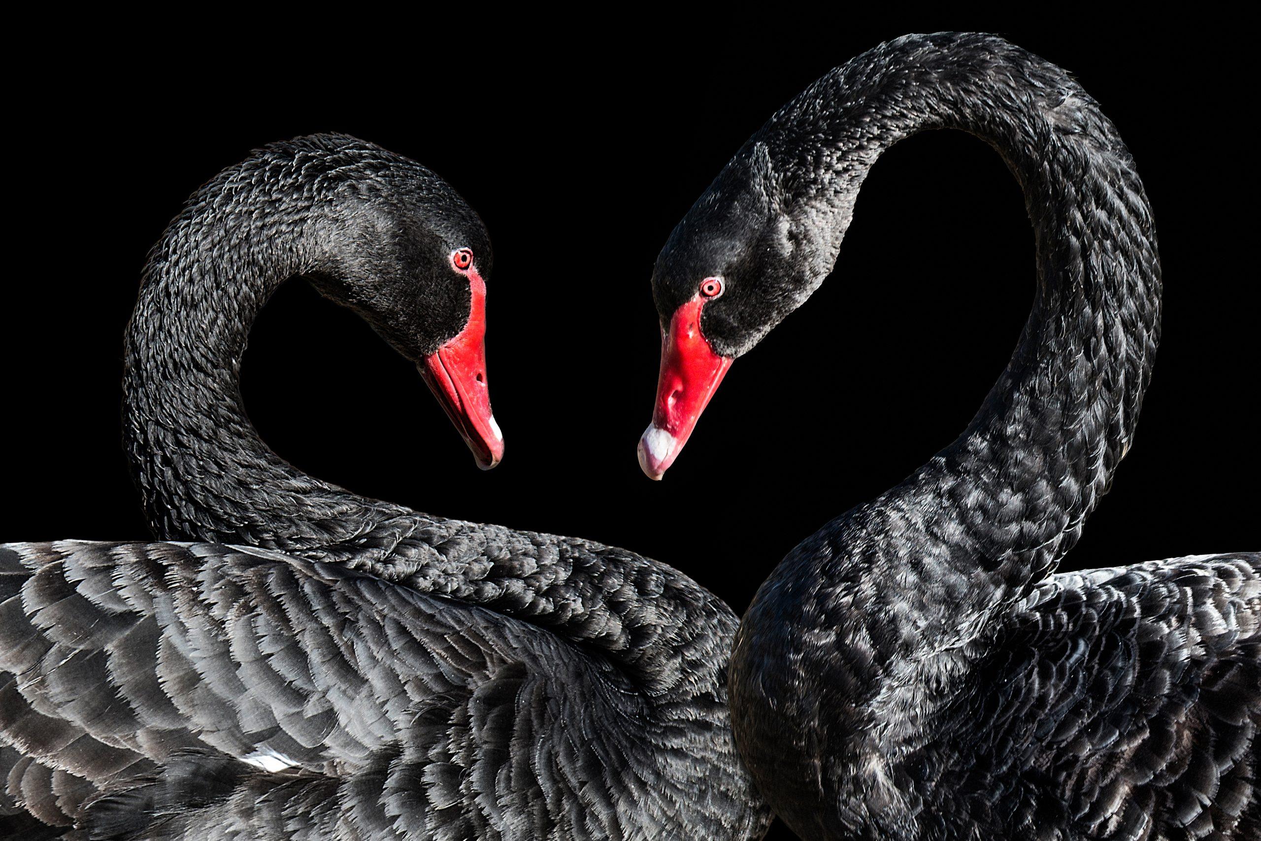 Twoblackswans