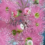 Pink Blossom Ltd Ed Print 1/100