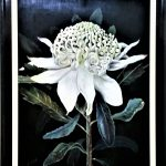 Rare White Waratah – Commissions available
