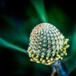 Banksia Buds – Ltd Ed Print