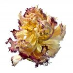 Beautiful Death – Dried Flower Still Life