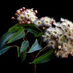 Corymbia Snowflake