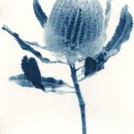 Banksia Menziesii – Western Australian Native