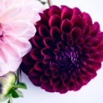 "Pom Pom Dahlia's   ""Garden of Love"" series – Ltd Ed Print"