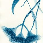 Silver Princess – Eucalyptus Caesia – Western Australian Native