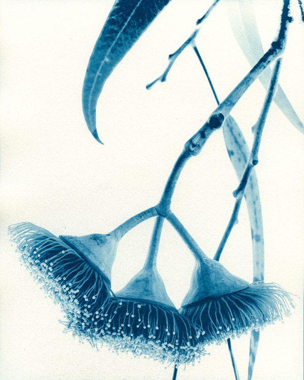 18 Silver Princess Tree Eucalyptus Caesia