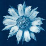 Flannel Flower – Actinotus Helianthi – Australian Native