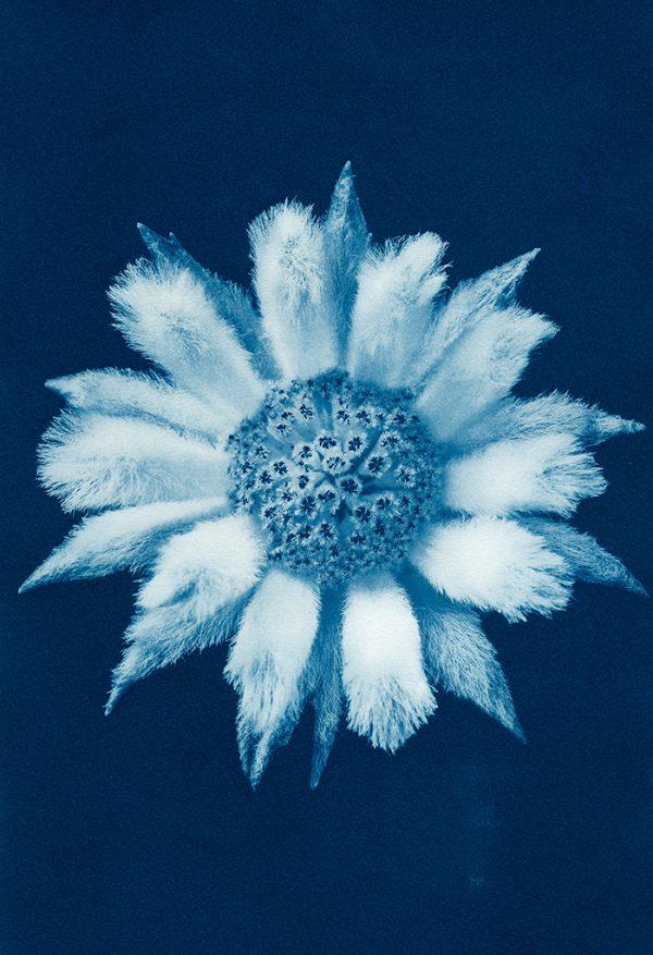 54. Flannel Flower Actinotus Helianthi Fb