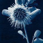 Dampier's Rose – Dipolaena Dampieri – Western Australian Native