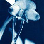 Donkey Orchid – Diuris Drummondii – Western Australian Native
