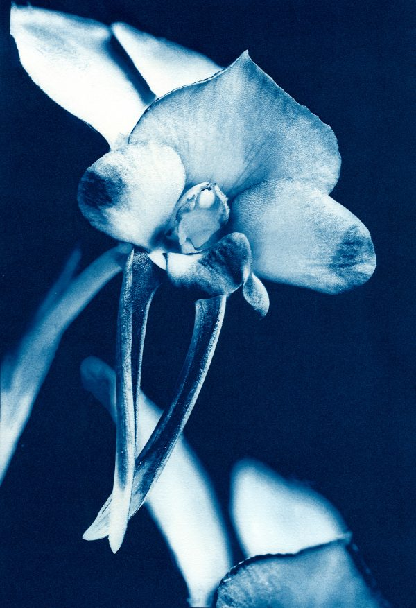 68. Donkey Orchid