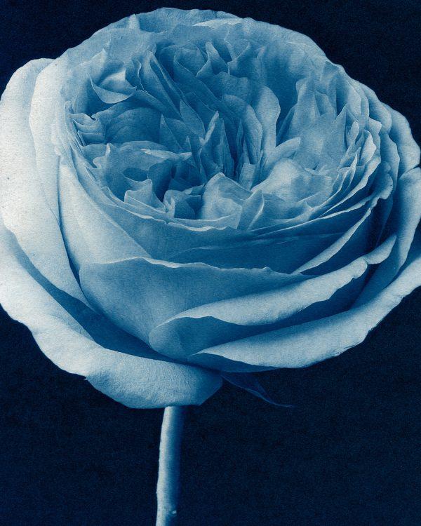 78. Juliette Rose