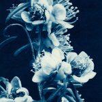 Swan River Myrtle – Hypocalymma Robustum – Western Australian Native