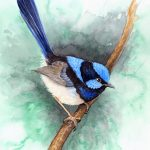 Blue Wren on Emerald Green – Ltd Ed Canvas Print
