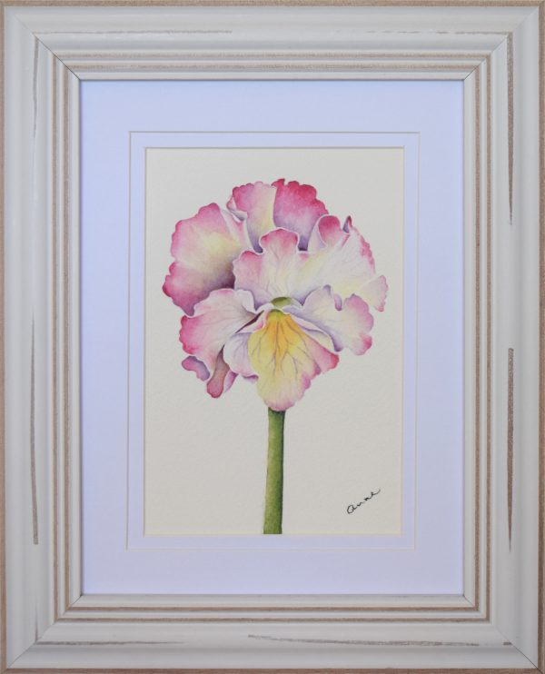 Frilly Pink Pansy