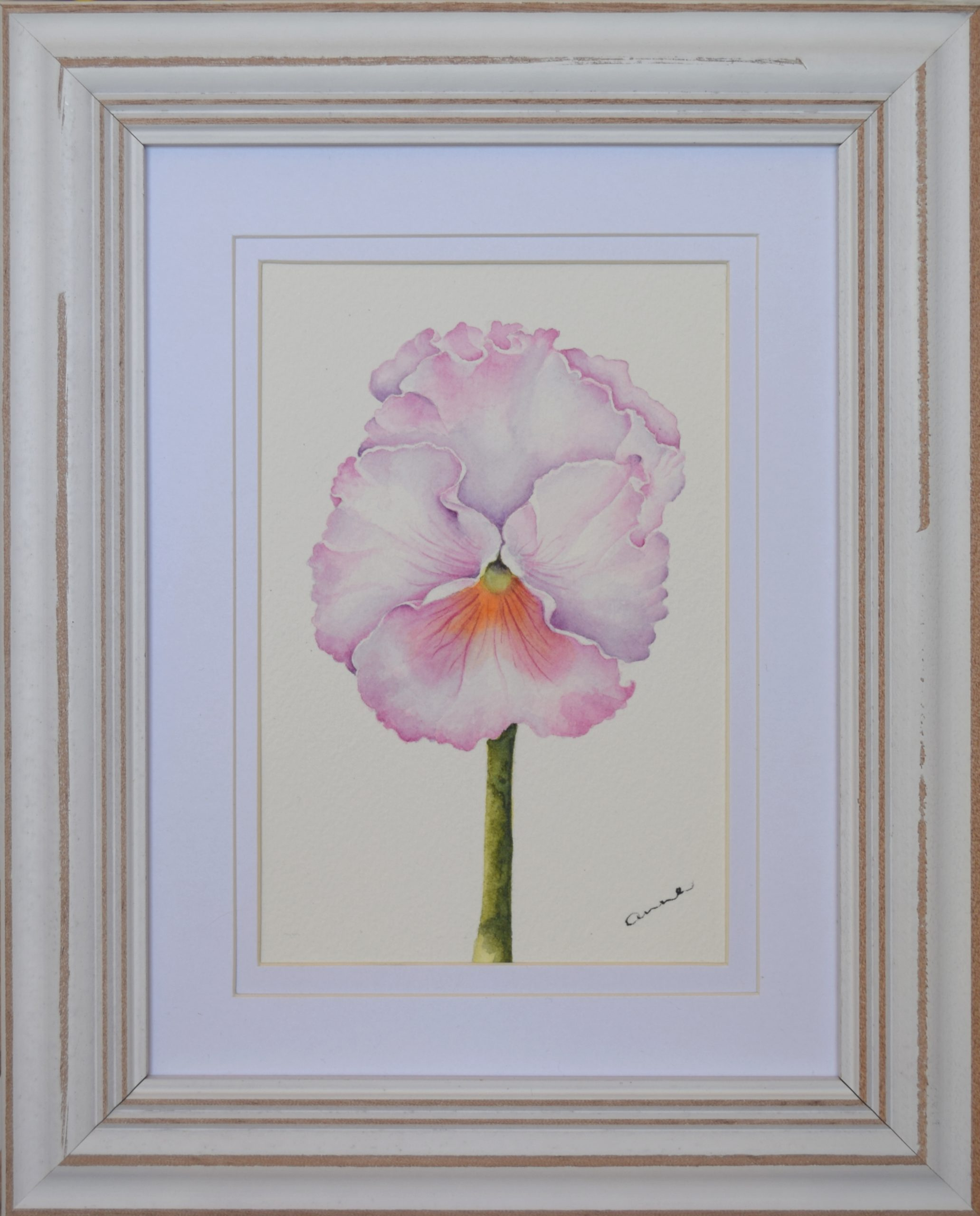 Pale Pink Pansy