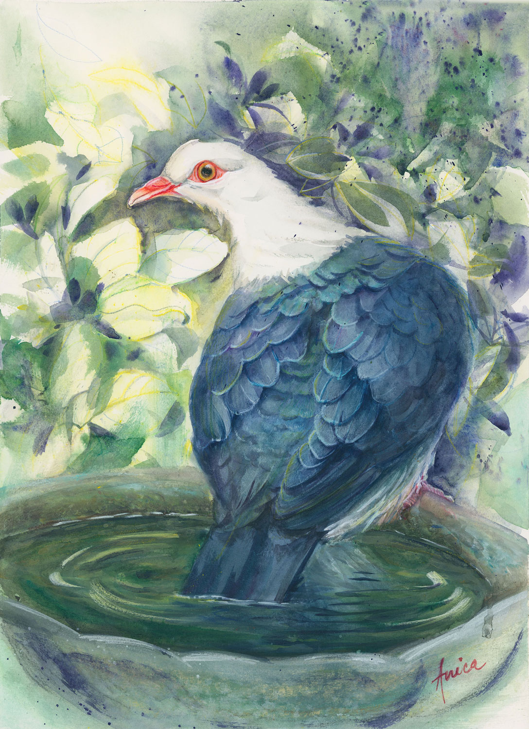 Time To Cool Off White Headed Pigeon In Bird Bath