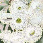 White gum blossom  Ltd Ed print