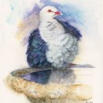 White headed Pigeon