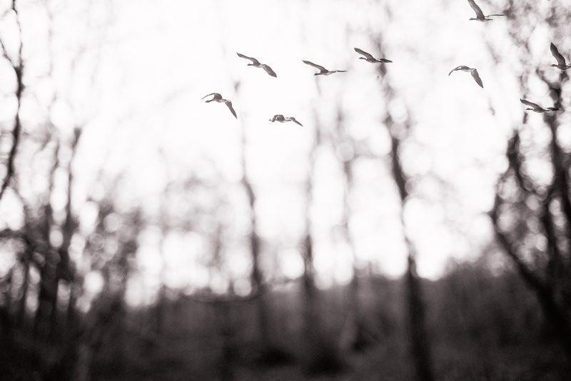Winter Flight Birds Photography