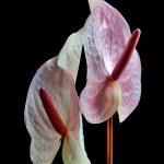 Pink Anthuriums