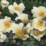 Dog Roses Ltd Ed Print