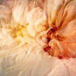 Delicate Dahlia – Garden of Love series – Ltd Ed Print