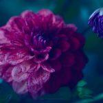 Dreamy Dahlia – Garden of Love series – Ltd Ed Print