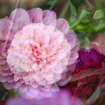 True Love Dahlia – Garden of Love series – Ltd Ed Print