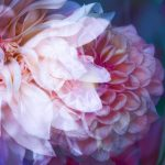 Autumn Garden Dahlia – Garden of Love series – Ltd Ed Print