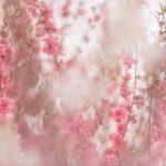 Veils of Blossoms 1 – Ltd Ed Print