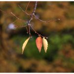 3 Leaves of Autumn