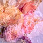 Romancing the Dahlia – Garden of Love series – Ltd Ed Print