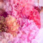 Love is a Dahlia – Garden of Love series – Ltd Ed Print