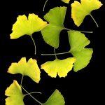 Ginkgo Leaf Collage