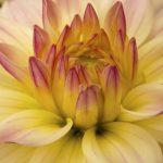 Dahlia Caballero Flower – Ltd Ed Print