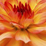 Dahlia Melody Dora Flower – Ltd Ed Print