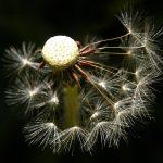 Dandelion (Taraxacum Officinale) – Ltd Ed Print