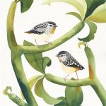 Two Pardalotes. Spotted.