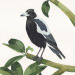 Magpie among the Frangipanis