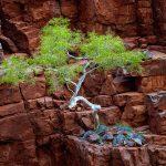 Red Rock Eucalyptus – Ltd Ed Print