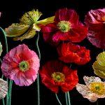 Poppy Collage Ltd Ed Print