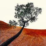 Uluru Tree – Ltd Ed Print