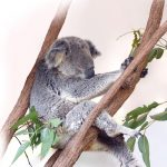 Life as Only a Koala Knows It